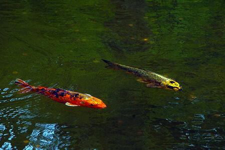 Koi Carp in Pond