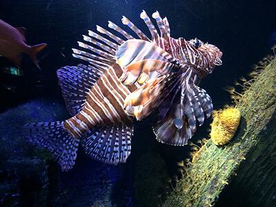 Lion Fish in Saltwater Aquarium