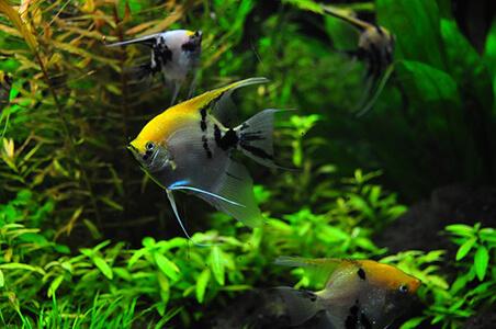 School of Angel Fish in Tropical Aquarium