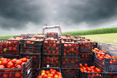 Crates of Tomatoes on Tractor