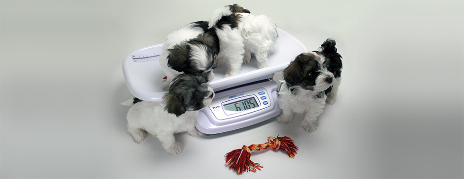 Weighing Puppies