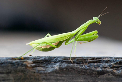 African-mantis.jpg